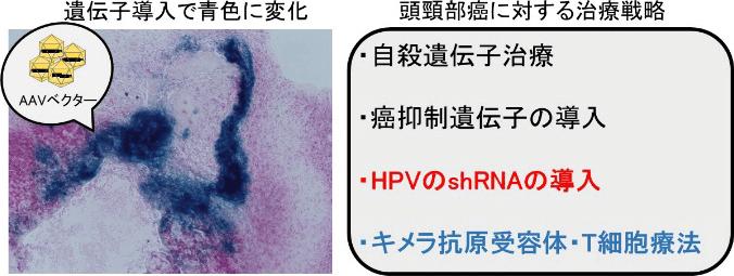 研究について - 医局ブログ│自治医科大学医学部耳鼻咽喉科学講座